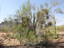 Characterizing the infection of a desert ironwood (Olneya tesota) by desert mistletoe (Phoradendron californicum)