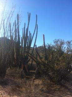 Senita + Sagauro + Organ Pipe, Organ Pipe Cactus National Monument