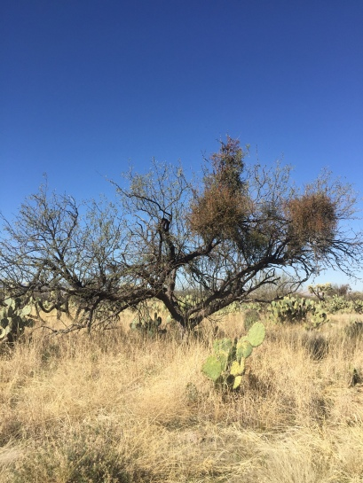 Mesquite + Mistletoe, Santa Rita Experimental Range