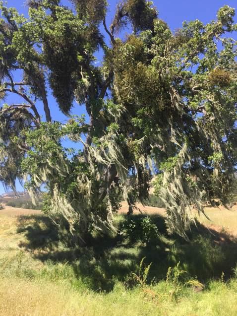 Oak + Mistletoe, Hastings Natural History Reserve