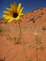 Helianthus, Grand Staircase-Escalante National Monument, Utah