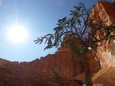 Bristlecone pine, Bryce Canyon National Park, Utah