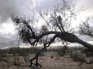 Desert mistletoe infection on velvet mesquite, Santa Rita Experimental Range, Arizona