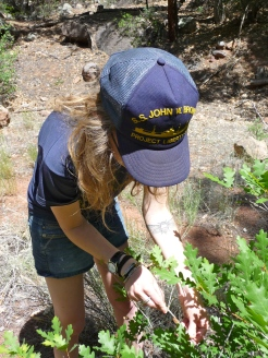 Inspecting galls on gambel oak, Jemez National Forest, NM