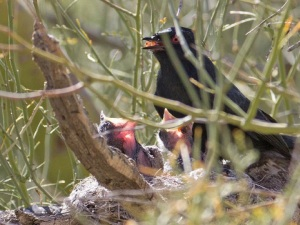 Male phainopepla feeds chicks mistletoe berries. Photo by Doris Evans (flickr: dorisevans).